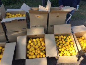 万葉柚子収穫